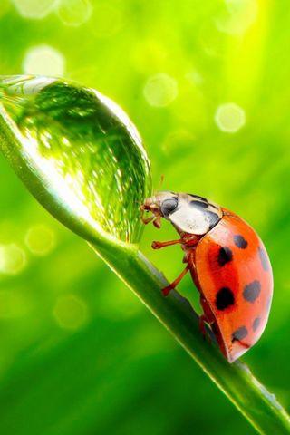 Ladybug Waterdrop
