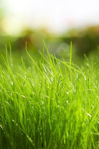 Солодка трава