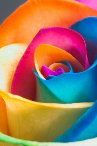 इंद्रधनुष्य गुलाब