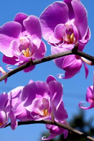 Mor çiçeği