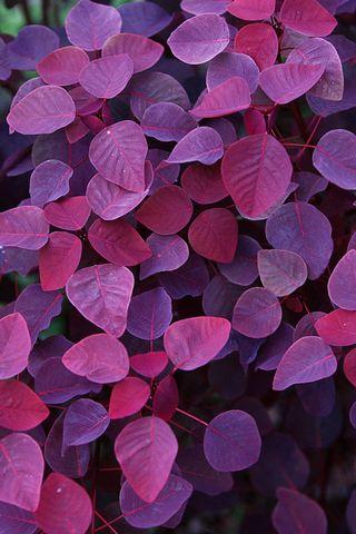 Червоно-фіолетові листя