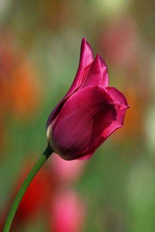 Bunga tulp