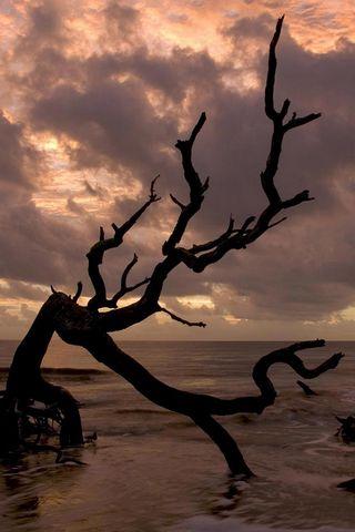 شجرة الشاطئ