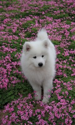 Cute White Dog Wallpaper Download To Your Mobile From Phoneky