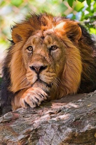 Ferocious Animal Lion