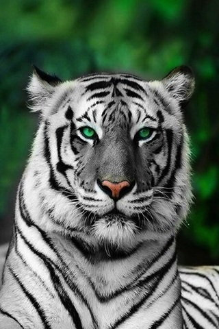 Tiger Green Eyes