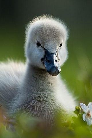 Spring Swan