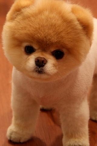 Cute-Pomeranian-Dog