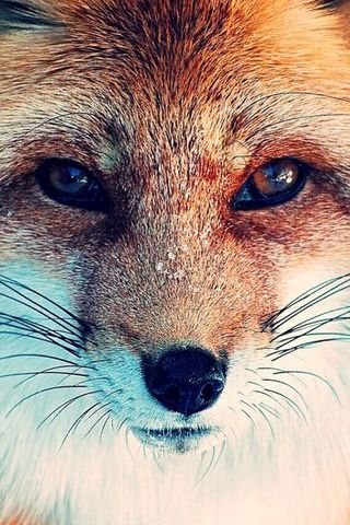 Fuchs Gesicht