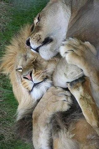Lions Love Couple