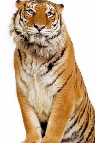 Tiger Beautiful