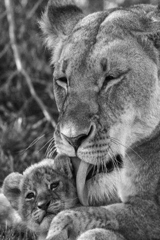 Pure Love Lions