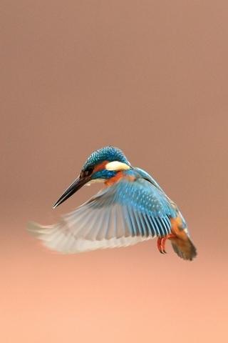 Tiny Kingfisher