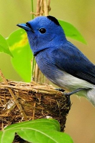 Blue Flycatcher