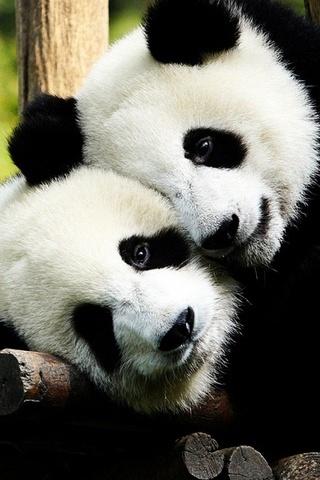 Two-Panda-Bears