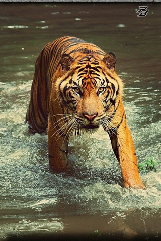 เสือโคร่ง 5
