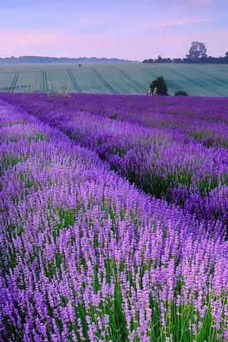 England, Manor Idyllic, Lavender