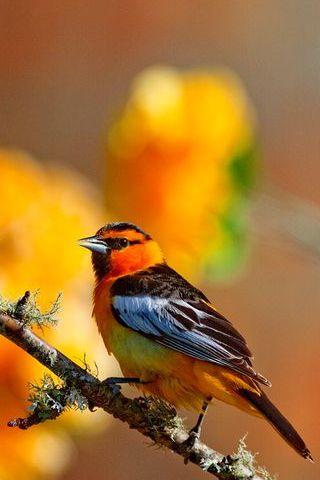 Bahar kuş