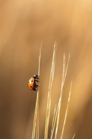 Hanımefendi böcek
