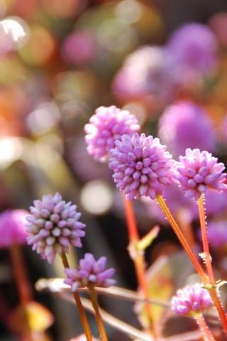 Pink-Persicaria-Capitata