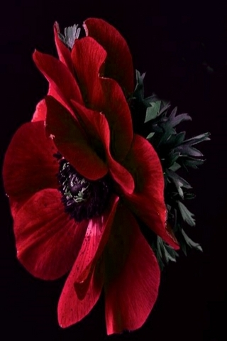 Red Windflower