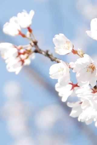 Cherry-Blossom-And-Blue-Sky