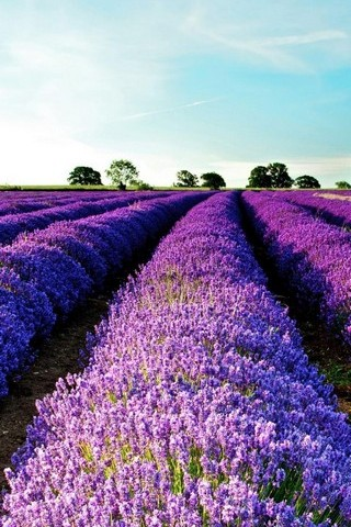 Purple-Flower-Field-Nature-Plant