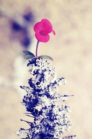 زهرة الباردة