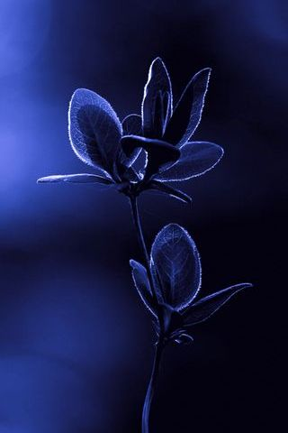 Blue Night Flower