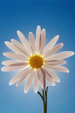 Daisy-Flower