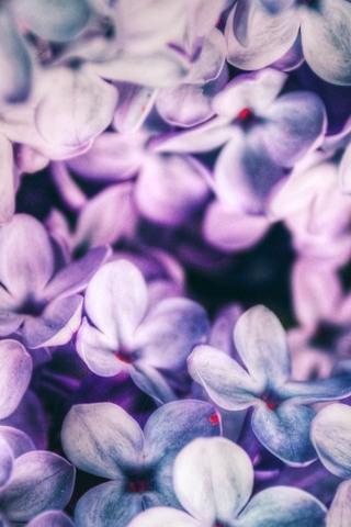 Pétalos púrpura
