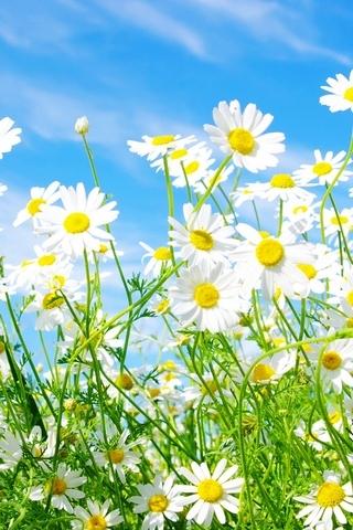 데이지 - 꽃