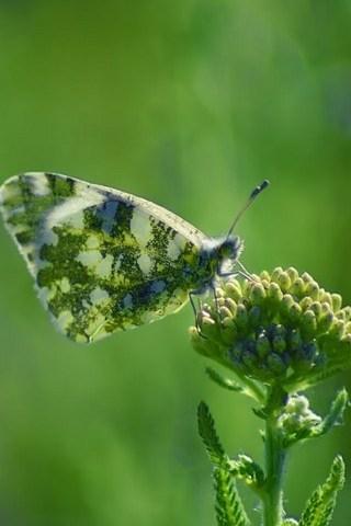 Armenia-Butterfly