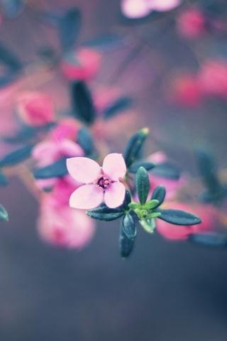 زهرة وردية