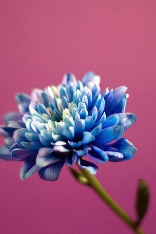 ब्लू गुलाबी