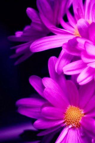 Violet-flower