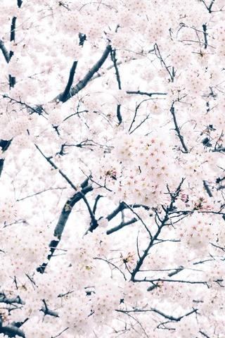 Sakura Cerise