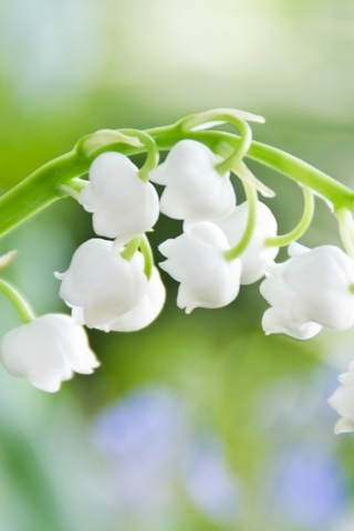 Lily-of-the-Valley-Macro