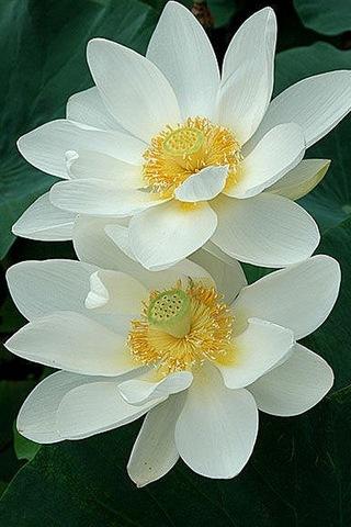 Beyaz Lotus-i