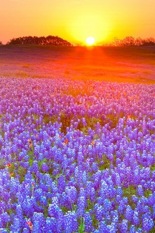 The Sunset Purple Flowers
