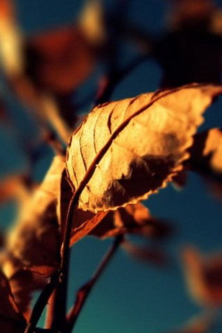 Autumn Leaf - IPhone5