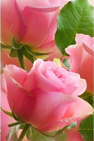3 Light Pink Roses