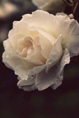 Dewy-rose