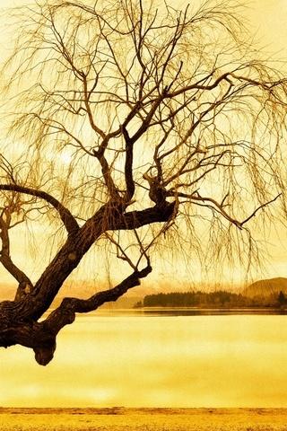 Pokok Willow