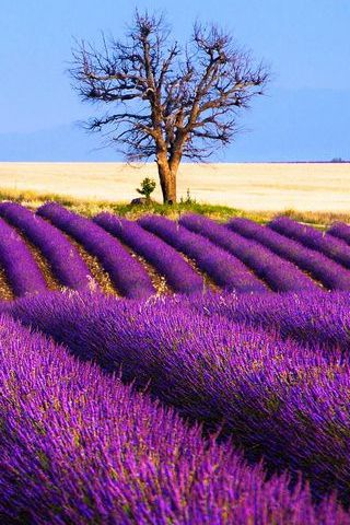 Hoa oải hương mùa xuân