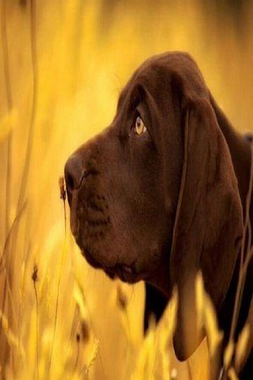 Labrador Animal