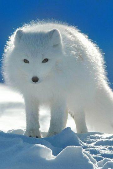 الثعلب الأبيض