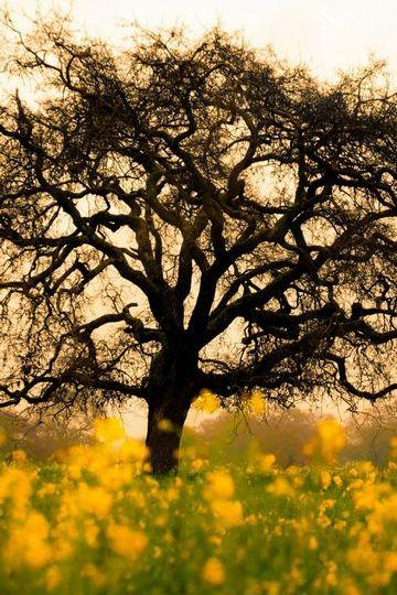 شجرة زهرة الربيع
