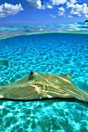 Stingray In The Ocean