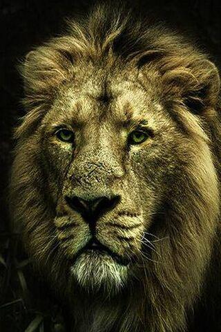 शेर का चेहरा